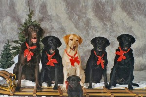 Image: Christmas Labs All in a Row