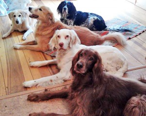 Image of Dover (white dog) finds peace in the crew with his meds. Dover is a white setter-like dog pictured laying down with 4 other medium sized dogs.