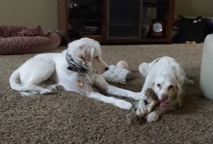 One English Setter chews on a toy as another looks on.