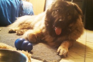 Kenzo in the spare bedroom with his Kong