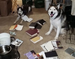 Typical of happens when Siberian Huskies -- or other Type A breeds -- aren't kept busy.