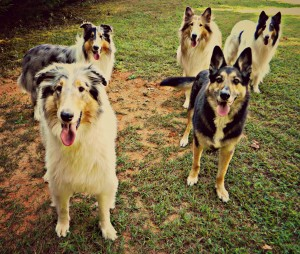 From the front, left to right: Luigi, Miley ( GSDX Rescue ) Gianna, Chesney and Denzel. Photo courtesy of Suzy Augello.